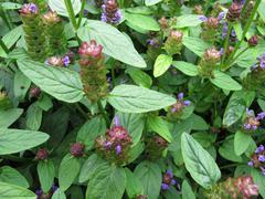 Common self-heal, Prunella vulgaris - stock photo
