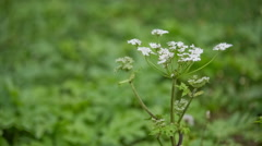 Hogweed blossom in wind Stock Footage