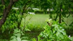 Dangerous hogweed flower in park Stock Footage