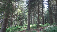 Sunny blueberry and pine tree forest tilt up Harz Stock Footage