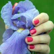 Female hand with pink nail polish holding iris Stock Photos