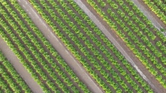 Stock Video Footage of Cultivating lettuce in rows. Aerial in 4K