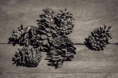 Stock Photo of Conifer cone