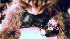 Mother maine coon cat licks the newborn kitten Stock Footage