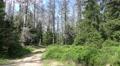 4k Dead trees tilt up in Harz forest nature reserve 4k or 4k+ Resolution