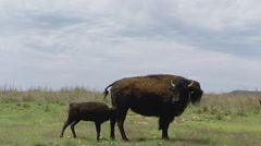 Buffalo Calf With Buffalo Cow- Caprock Canyon State Park Stock Footage