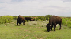 Buffalo Grazing On Green Grass Medium- Caprock Canyon State Park Stock Footage