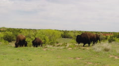 Buffalo Grazing On Green Grass Distant- Caprock Canyon State Park Stock Footage