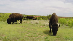 Buffalo Grazing On Green Grass Close- Caprock Canyon State Park Stock Footage