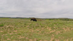 Solitary Buffalo Grazing At Caprock Canyon State Park Stock Footage
