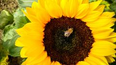 Bee on sunflower, collecting pollen - stock photo