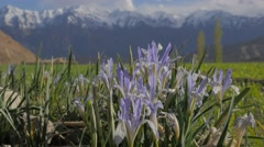 Wild flowers in Likir with snow capped mountains,Likir,Ladakh,India Stock Footage