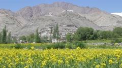 Yellow barley fields with Tingmosgang Gompa,Timishgan,Ladakh,India Stock Footage