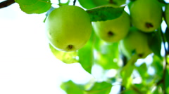 Organic, Imperfect Apples In Tree Stock Footage