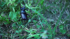 Stag Beetle Plodding Through The Grass Stock Footage