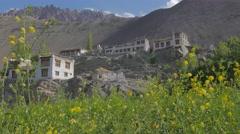 Yellow barley fields in village,Alchi,Ladakh,India Stock Footage