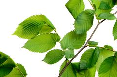 leaf elm tree in the forest - stock photo