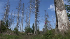 Low angle dead trees Harz forest nature reserve Stock Footage