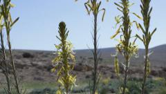 Desert flowers under the sun during springtime Stock Footage
