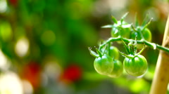 Cherry, OrganicTomatoes In My Sunny Garden, Changing Focus Stock Footage