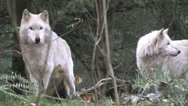 Stock Video Footage of Two Large Gray Wolves