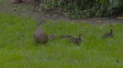 Ducklings on grass Stock Footage