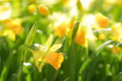 Yellow spring flowers narcissus daffodils with bright sunbeams sun rays - stock photo