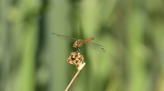 Sympetrum, meadowhawk, dragonfly,sits on a leaf Stock Footage