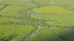 Wind blows through barley fields, man walking,Alchi,Ladakh,India Stock Footage