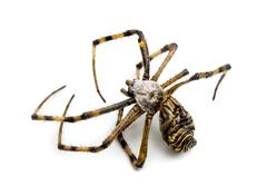 Dead Wasp spider, Argiope bruennichi, - stock photo