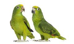 Panama Amazon and Yellow-crowned Amazon isolated on white Stock Photos