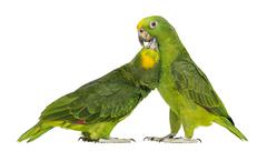 Panama Amazon and Yellow-crowned Amazon pecking, isolated on white Stock Photos