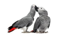 Two African Grey Parrots (3 months old) pecking,  isolated on white - stock photo