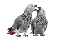 Two African Grey Parrot (3 months old) pecking,  isolated on white - stock photo