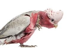 Rose-breasted Cockatoo (2 years old) isolated on white - stock photo