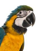 Close-up of a Blue-and-yellow Macaw (14 weeks old) isloated on white - stock photo