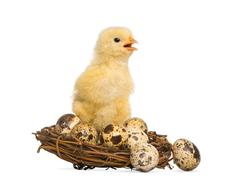 Stock Photo of Chick (8 days old) standing in a nest with small eggs