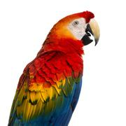 Close-up of a Scarlet Macaw (4 years old) isolated on white - stock photo