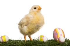 Stock Photo of Chick (8 days old) standing in grass with Easter eggs