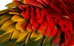 Close-up on a Scarlet Macaw feathers (4 years old) isolated on white - stock photo