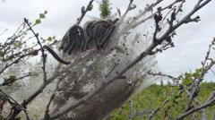 Oak processionary (Thaumetopoea processionea), pupation on branches Stock Footage