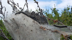 Oak processionary (Thaumetopoea processionea), pupation, with sky in background Stock Footage