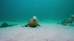 Australian Sealion Stock Footage