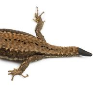 Top view of a Wall lizard with its tail cut - stock photo