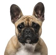French Bulldog (7 months old) - stock photo