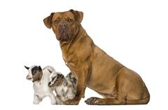 Young domestic goat and a Dogue de Bordeaux - stock photo