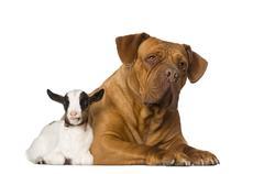 Young domestic goat and a Dogue de Bordeaux Stock Photos