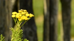 Tansy, Tanacetum vulgare, medicinal plant with flower Stock Footage