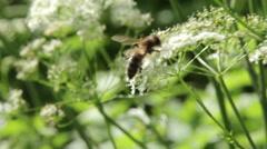 Honey bee on flower macro summer heat macro Stock Footage