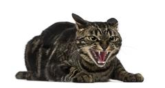Mixed-breed cat hissing Stock Photos